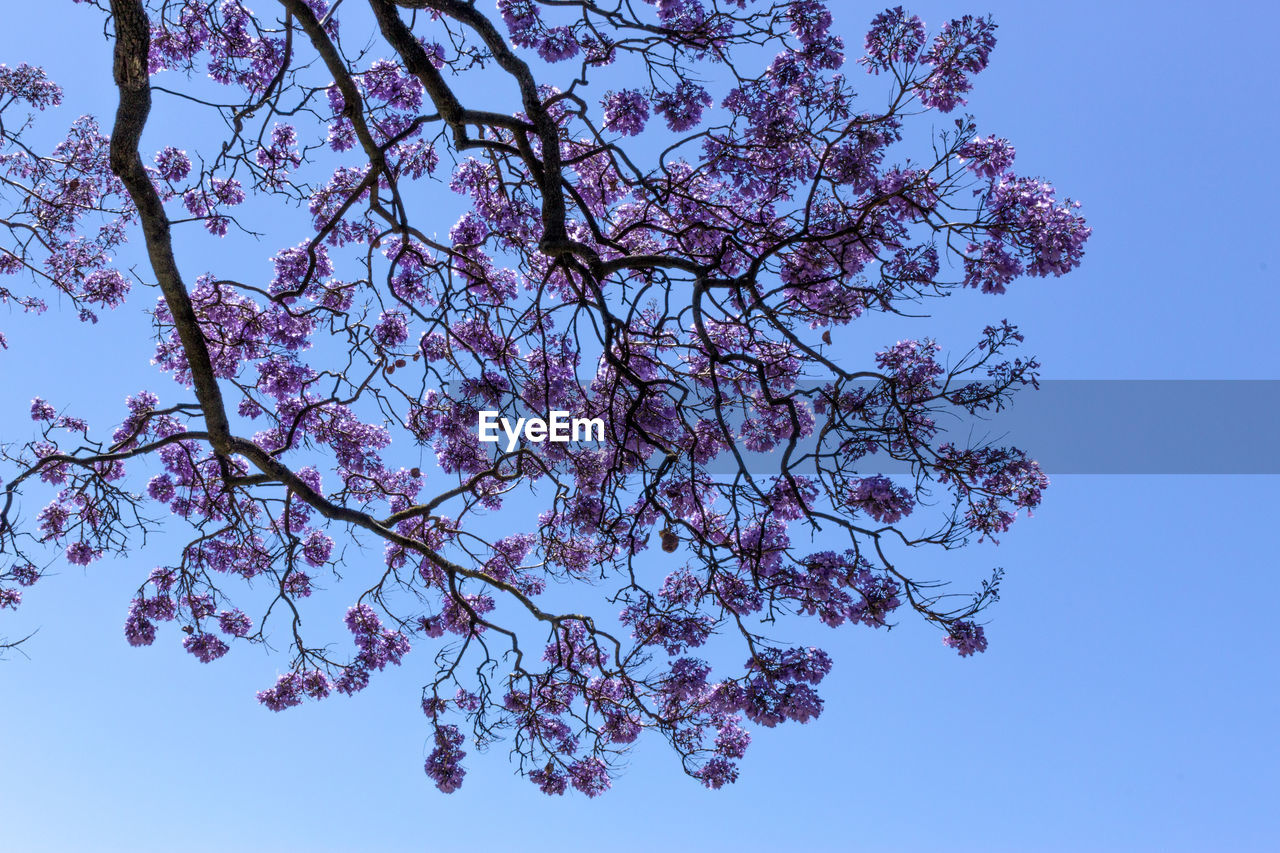flower, tree, beauty in nature, growth, branch, blossom, nature, fragility, springtime, low angle view, no people, clear sky, freshness, tranquility, day, pink color, outdoors, sky, flower head, close-up