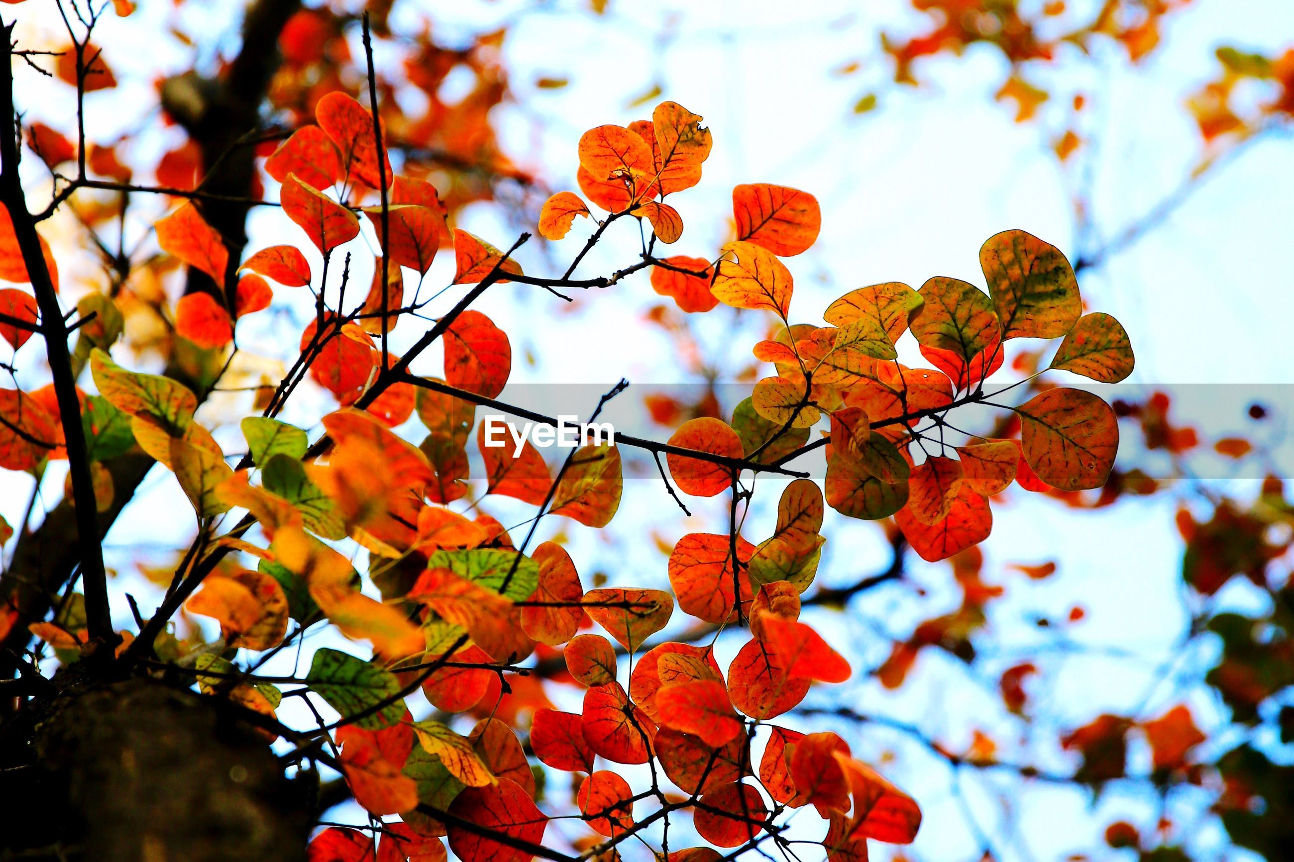 autumn, leaf, change, branch, season, low angle view, focus on foreground, close-up, tree, nature, growth, leaves, beauty in nature, sky, maple leaf, red, twig, orange color, day, outdoors