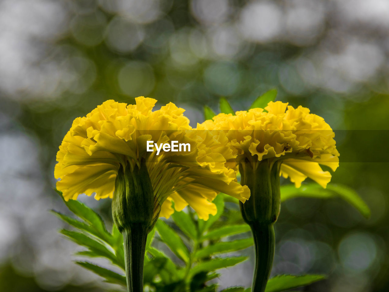 flower, yellow, fragility, nature, petal, beauty in nature, freshness, growth, plant, flower head, springtime, no people, close-up, day, outdoors, focus on foreground, blooming