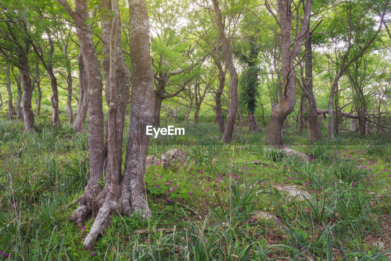 plant, tree, land, forest, tranquility, tree trunk, trunk, growth, day, nature, no people, beauty in nature, woodland, green color, landscape, outdoors, tranquil scene, environment, scenics - nature, grass