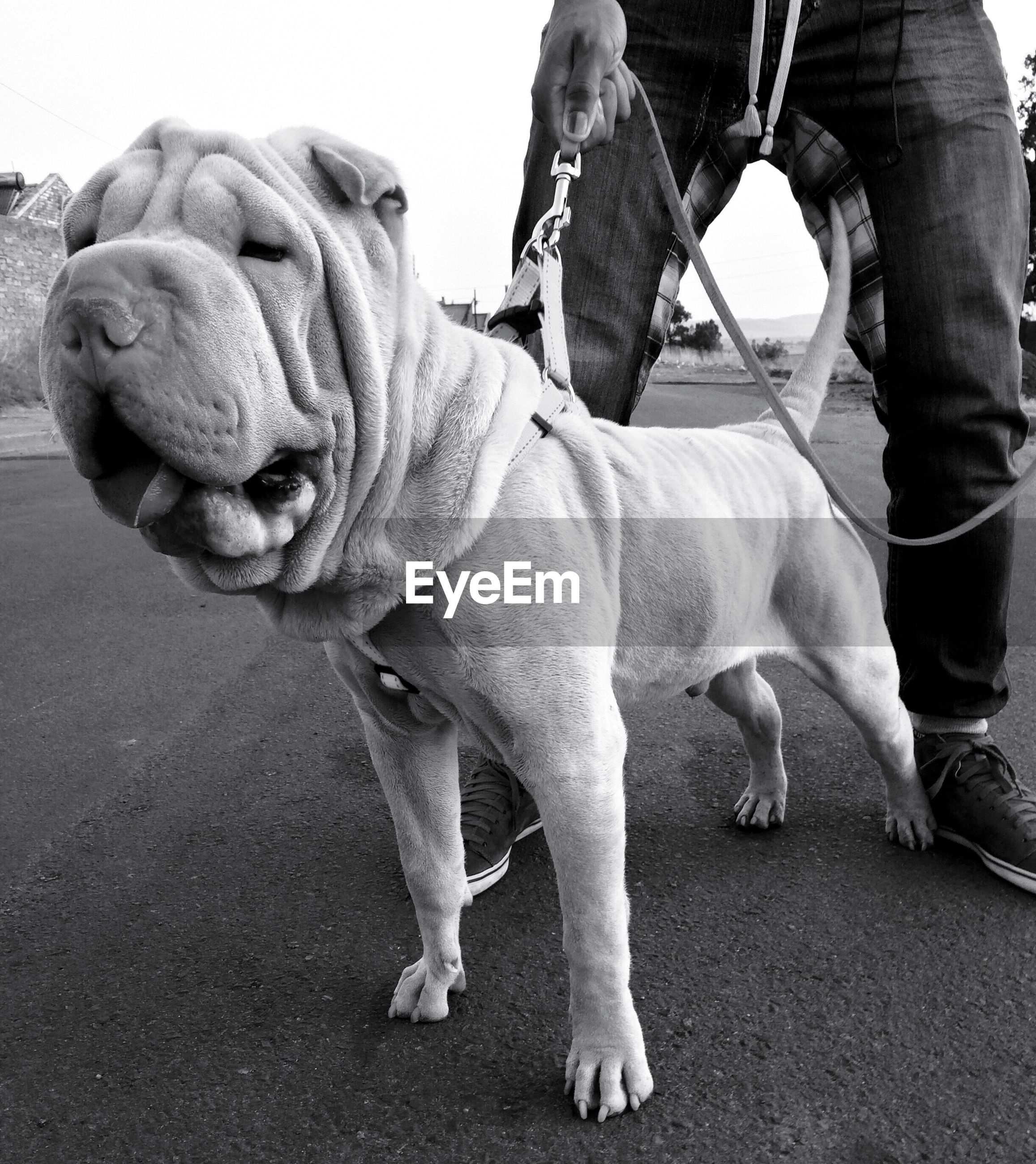 Low section of person standing with shar-pei on street
