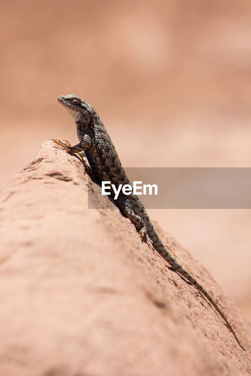 CLOSE-UP OF A LIZARD ON WOOD