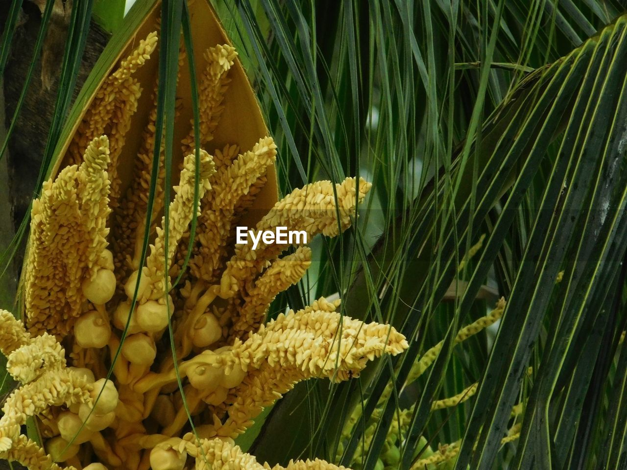 plant, nature, growth, close-up, no people, fragility, beauty in nature, vulnerability, yellow, day, freshness, green color, flower, flowering plant, leaf, plant part, focus on foreground, outdoors, food and drink, palm tree, flower head, marine