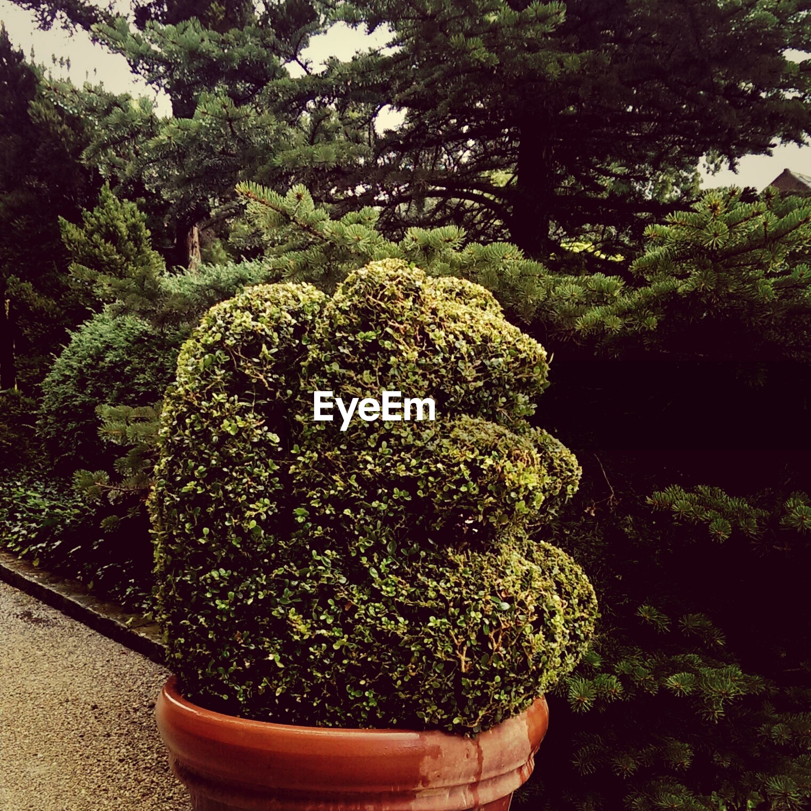 Wet topiary plant in yard
