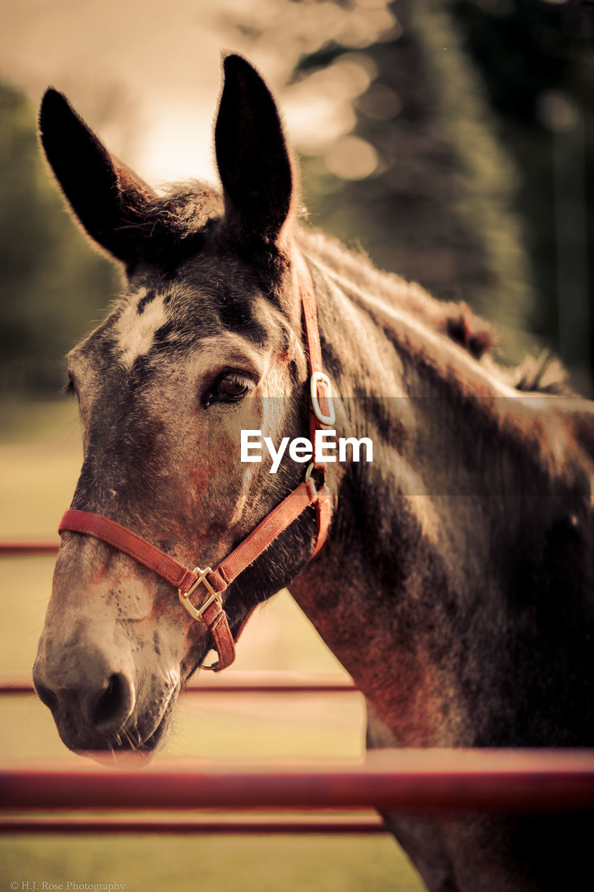 mammal, domestic animals, domestic, horse, livestock, animal, animal themes, pets, animal wildlife, one animal, vertebrate, working animal, animal body part, bridle, focus on foreground, animal head, no people, close-up, day, brown, outdoors, herbivorous, ranch