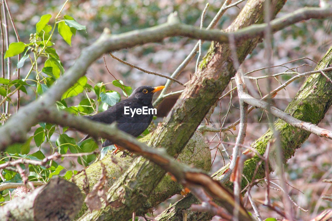 animal themes, animal wildlife, vertebrate, bird, animal, branch, tree, animals in the wild, plant, one animal, perching, selective focus, nature, no people, day, outdoors, blackbird, plant part, focus on foreground, leaf