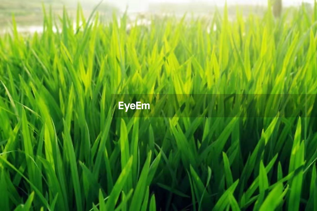 growth, green color, agriculture, field, grass, farm, cereal plant, crop, nature, day, plant, cultivated land, rural scene, outdoors, close-up, focus on foreground, wheat, no people, ear of wheat, tranquility, beauty in nature, freshness, rice paddy