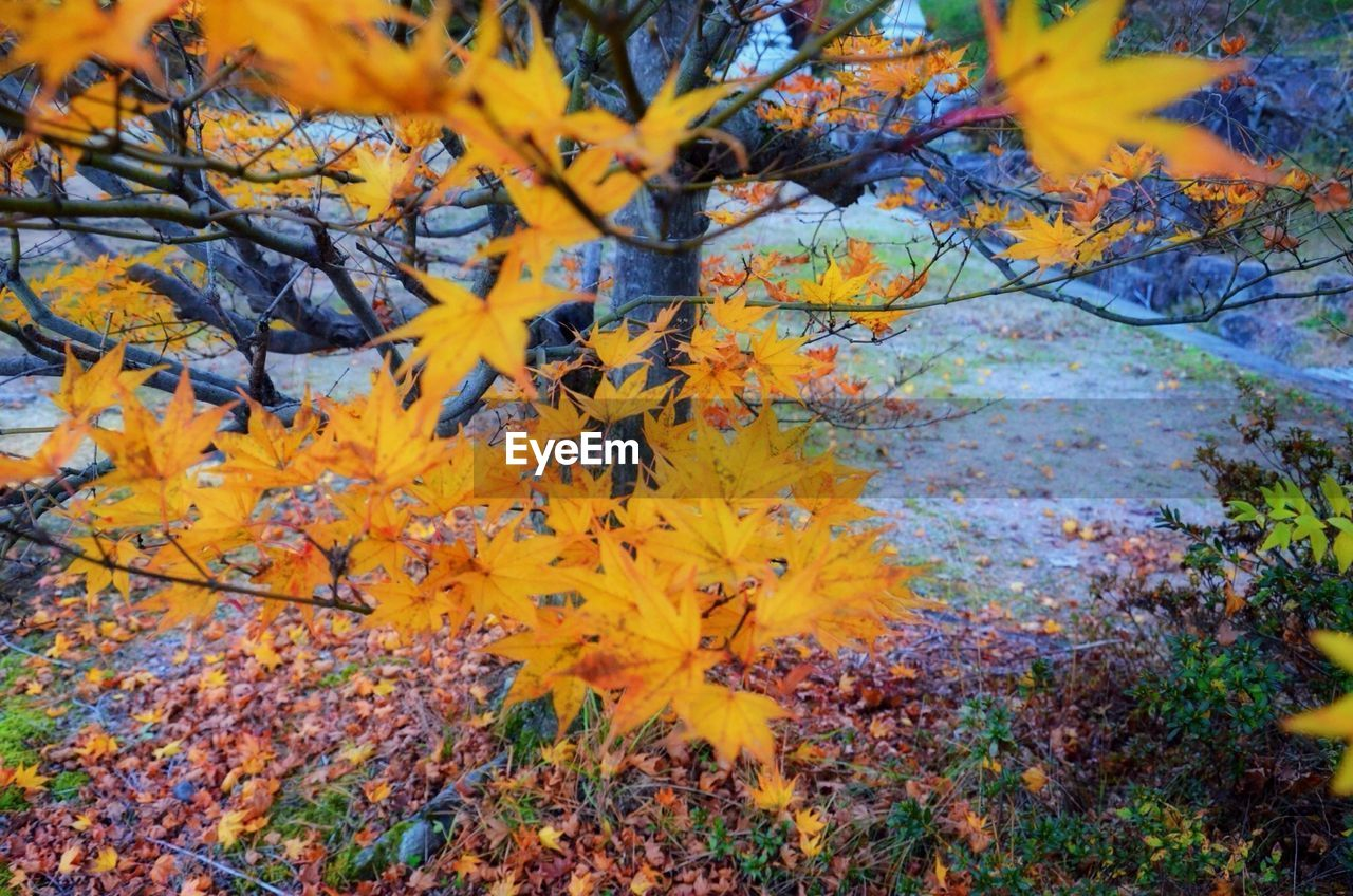 autumn, change, leaf, nature, yellow, beauty in nature, leaves, maple leaf, tranquility, no people, maple, tree, maple tree, outdoors, day, close-up, growth, scenics, branch