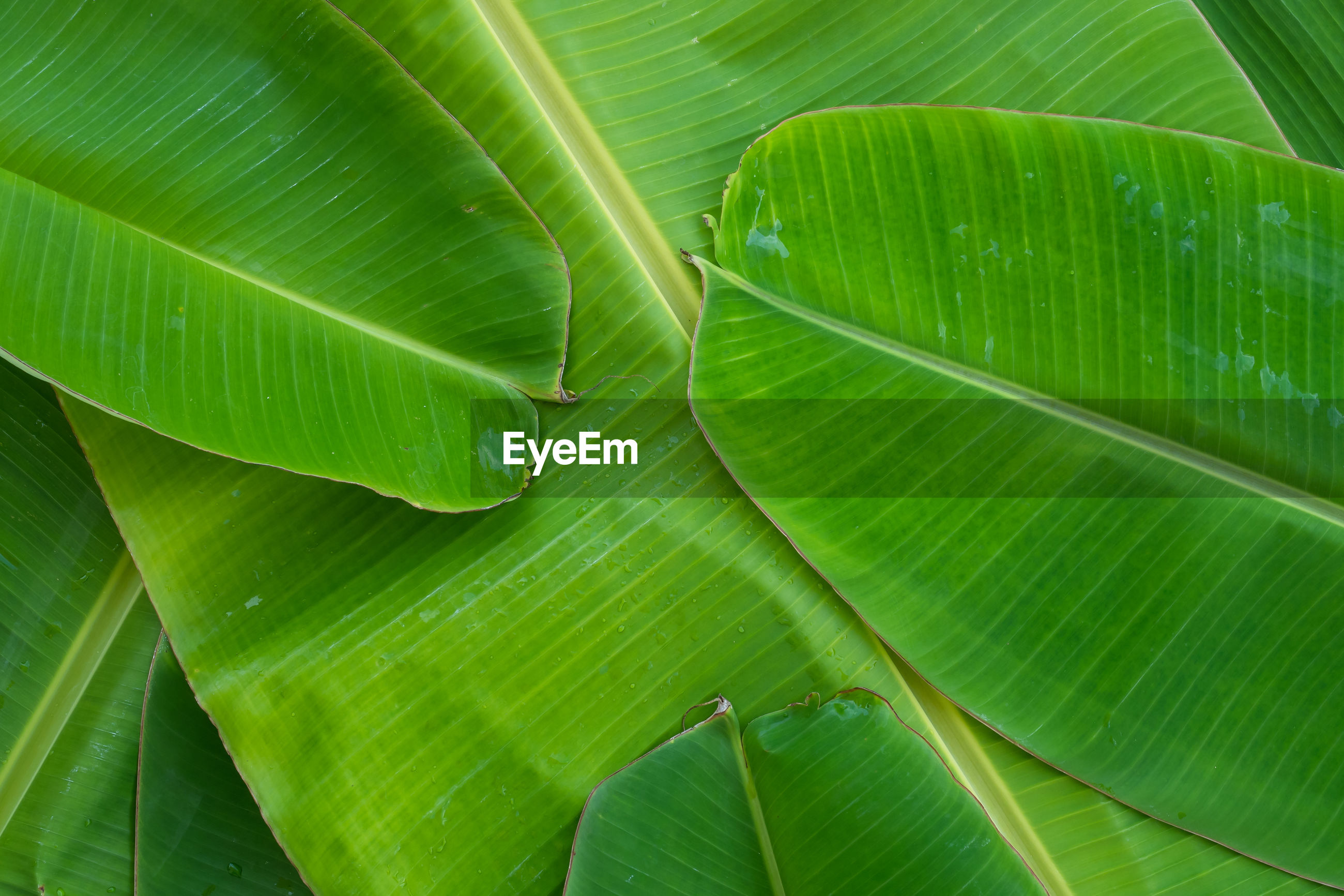 FULL FRAME SHOT OF GREEN LEAF WITH PALM LEAVES