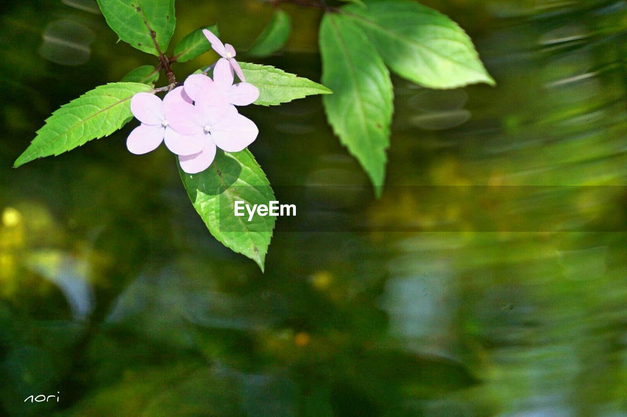 flower, growth, leaf, fragility, beauty in nature, nature, freshness, petal, plant, outdoors, day, flower head, blooming, no people, focus on foreground, close-up, green color, periwinkle, tree