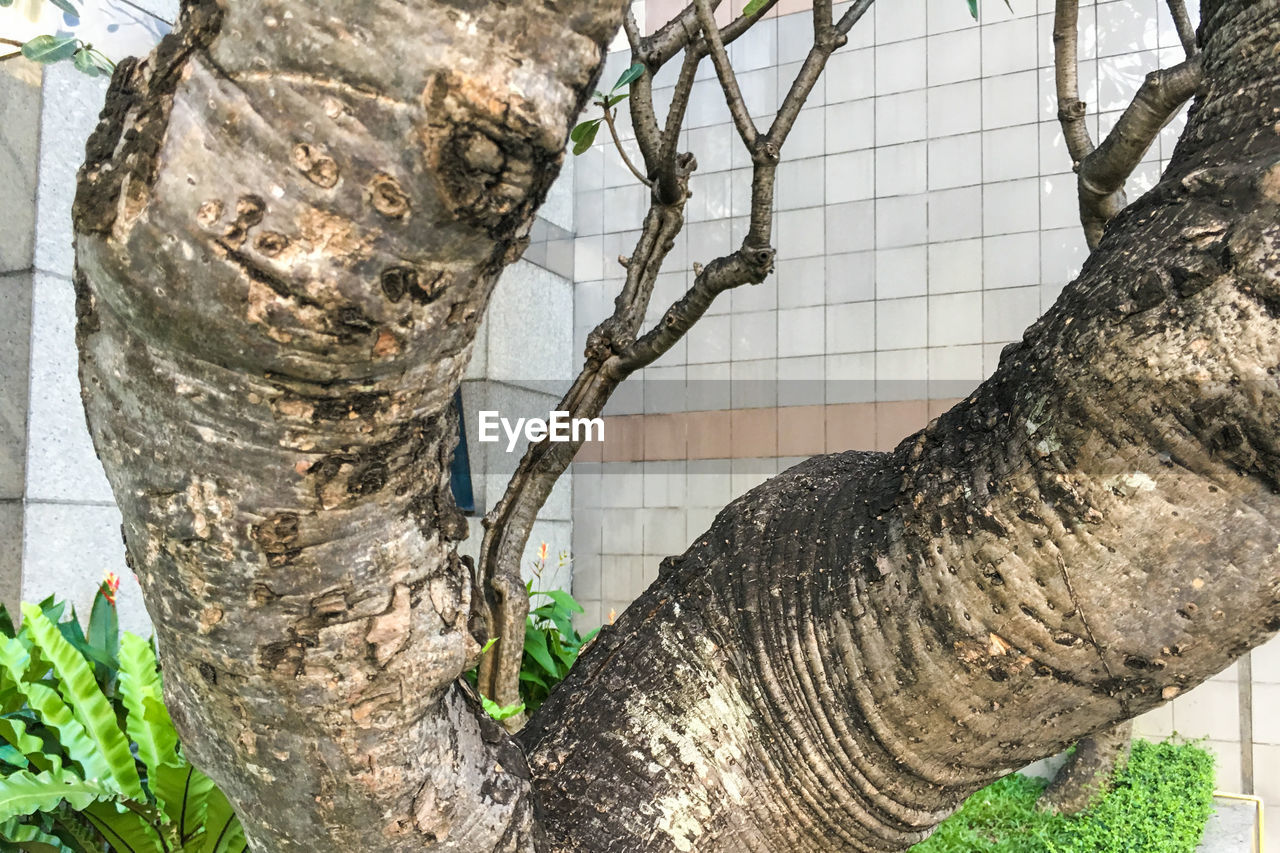 tree trunk, tree, no people, day, branch, outdoors, textured, close-up, strength, nature, growth