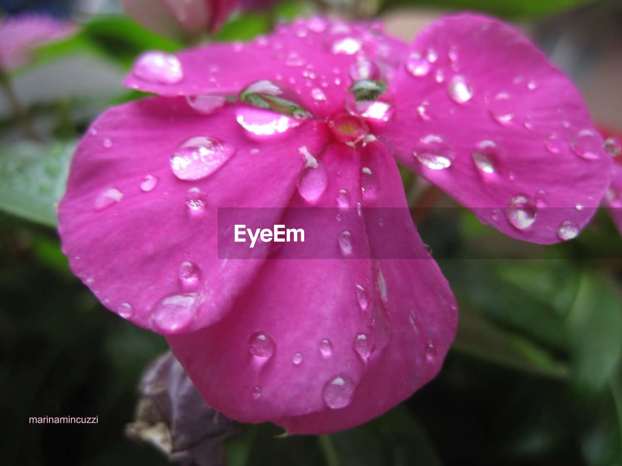 drop, flower, wet, water, petal, beauty in nature, nature, fragility, growth, flower head, raindrop, pink color, freshness, outdoors, close-up, day, focus on foreground, no people, blooming, plant, periwinkle