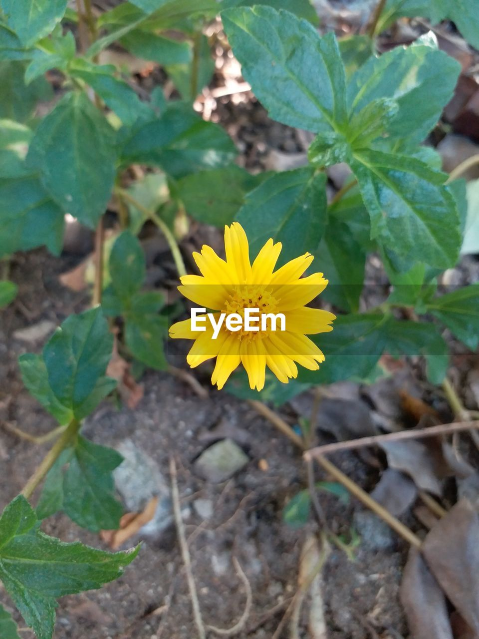 flower, yellow, fragility, nature, plant, leaf, growth, petal, flower head, beauty in nature, freshness, outdoors, close-up, no people, blooming, day