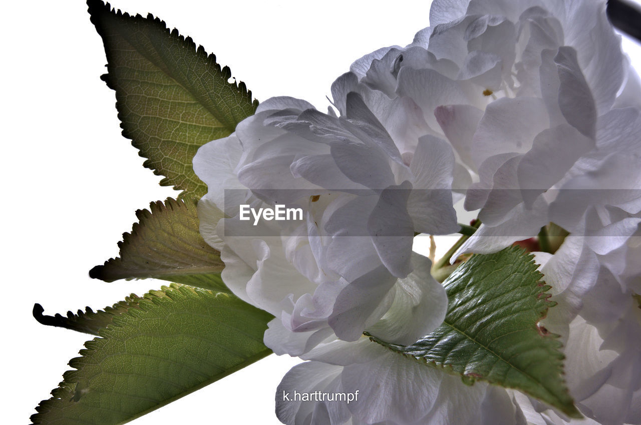 flower, petal, white color, growth, nature, no people, beauty in nature, close-up, fragility, outdoors, day, freshness, flower head