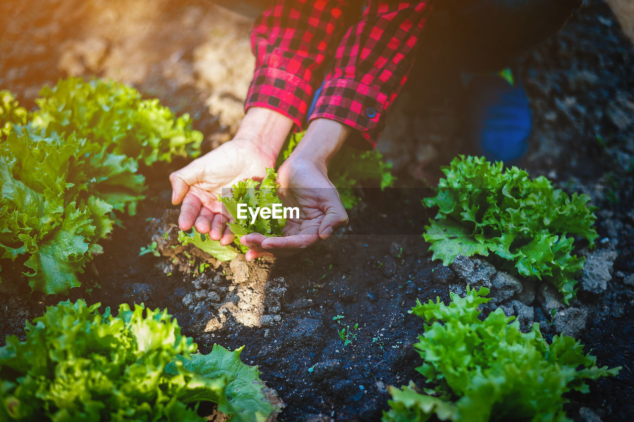 Low Section Of Person Cupping Vegetable Growing On Field