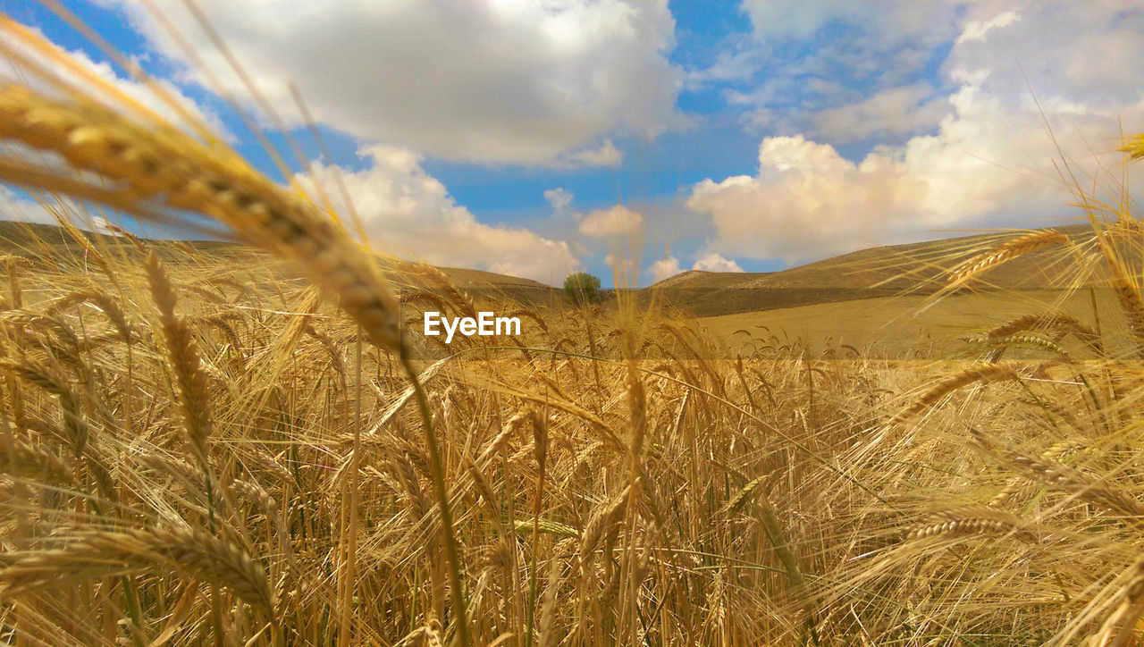 landscape, sky, plant, land, cloud - sky, field, environment, crop, cereal plant, beauty in nature, growth, agriculture, nature, tranquility, tranquil scene, rural scene, scenics - nature, wheat, day, no people, outdoors, plantation, stalk