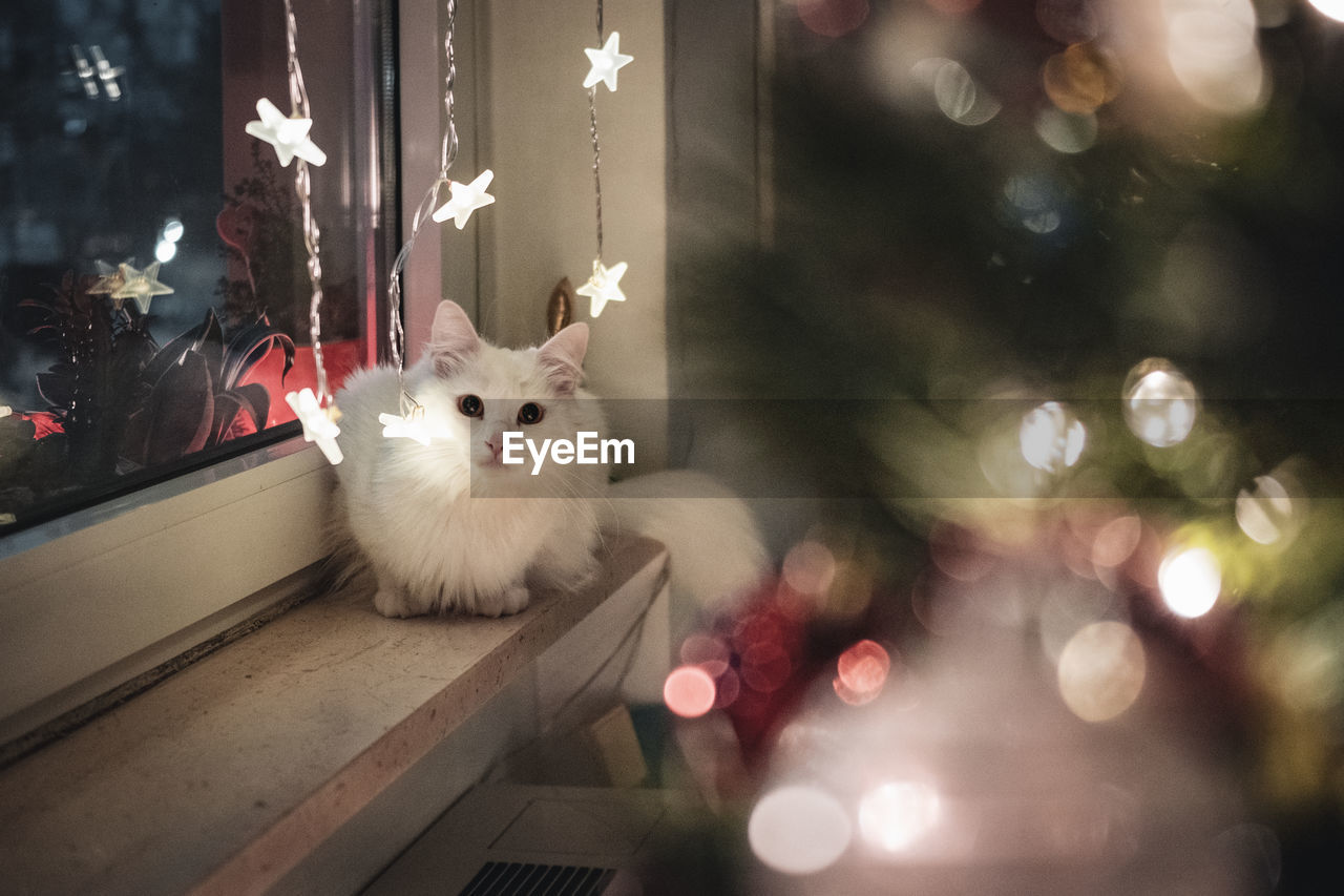 PORTRAIT OF WHITE CAT WITH ILLUMINATED CHRISTMAS LIGHTS