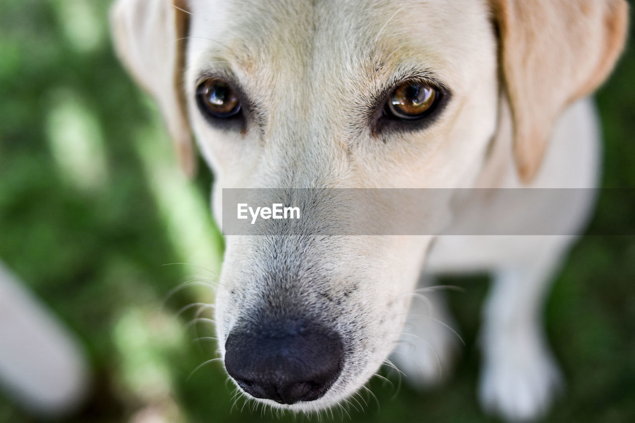 dog, canine, one animal, pets, mammal, domestic, domestic animals, close-up, animal body part, vertebrate, portrait, focus on foreground, looking at camera, no people, looking, day, animal eye, jack russell terrier, snout, animal nose, whisker