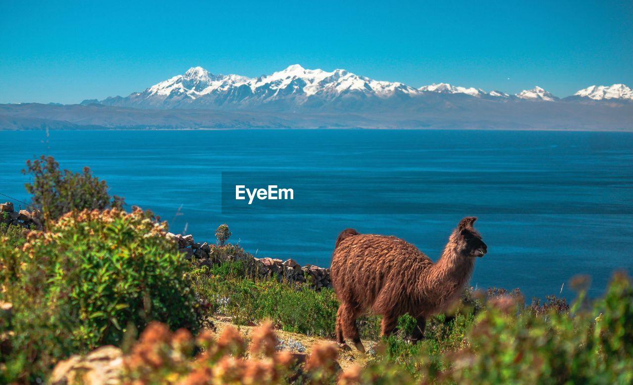 Llama Standing By Lake Against Blue Sky