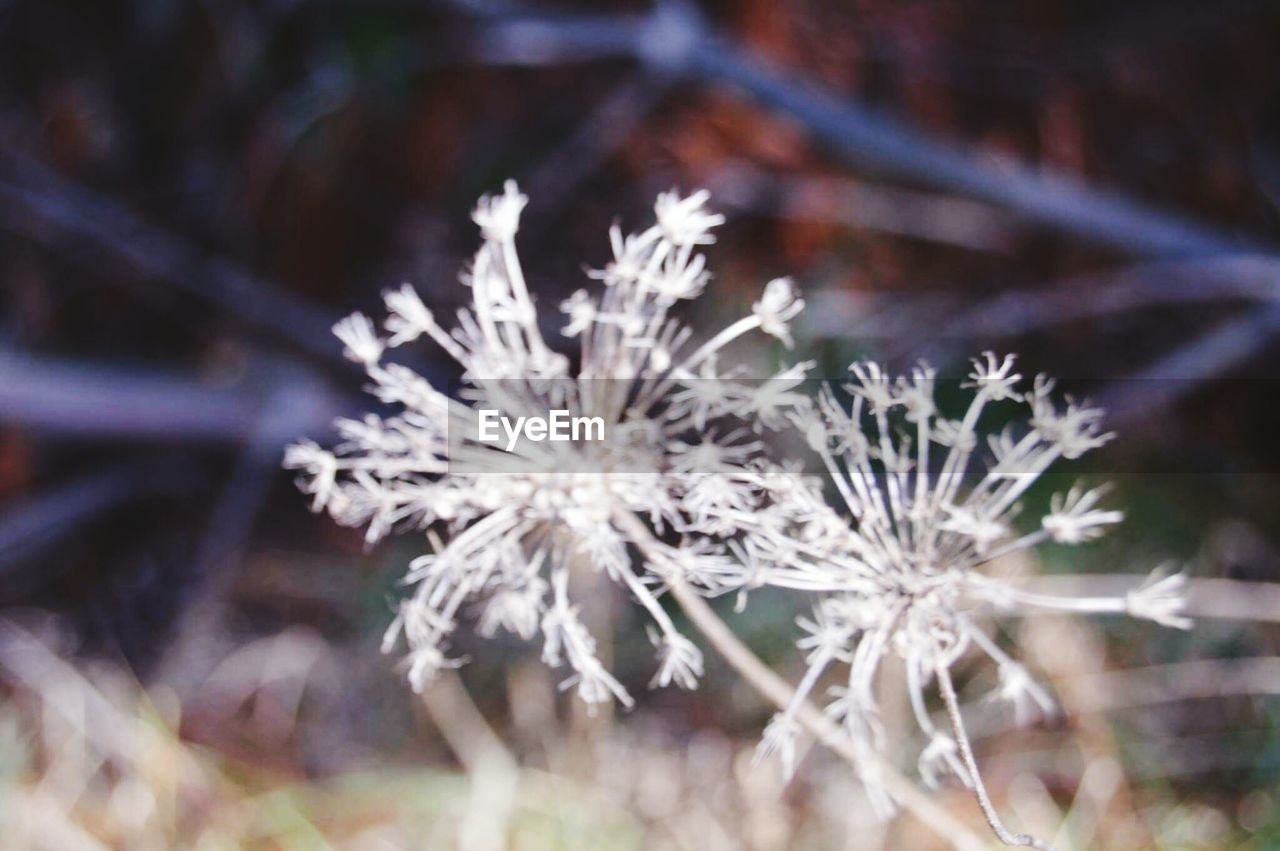 flower, winter, fragility, nature, no people, snow, beauty in nature, cold temperature, plant, day, outdoors, frozen, growth, close-up, snowflake, freshness, flower head