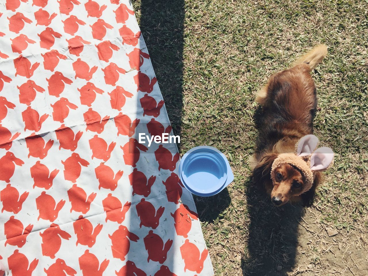 High angle view of dachshund