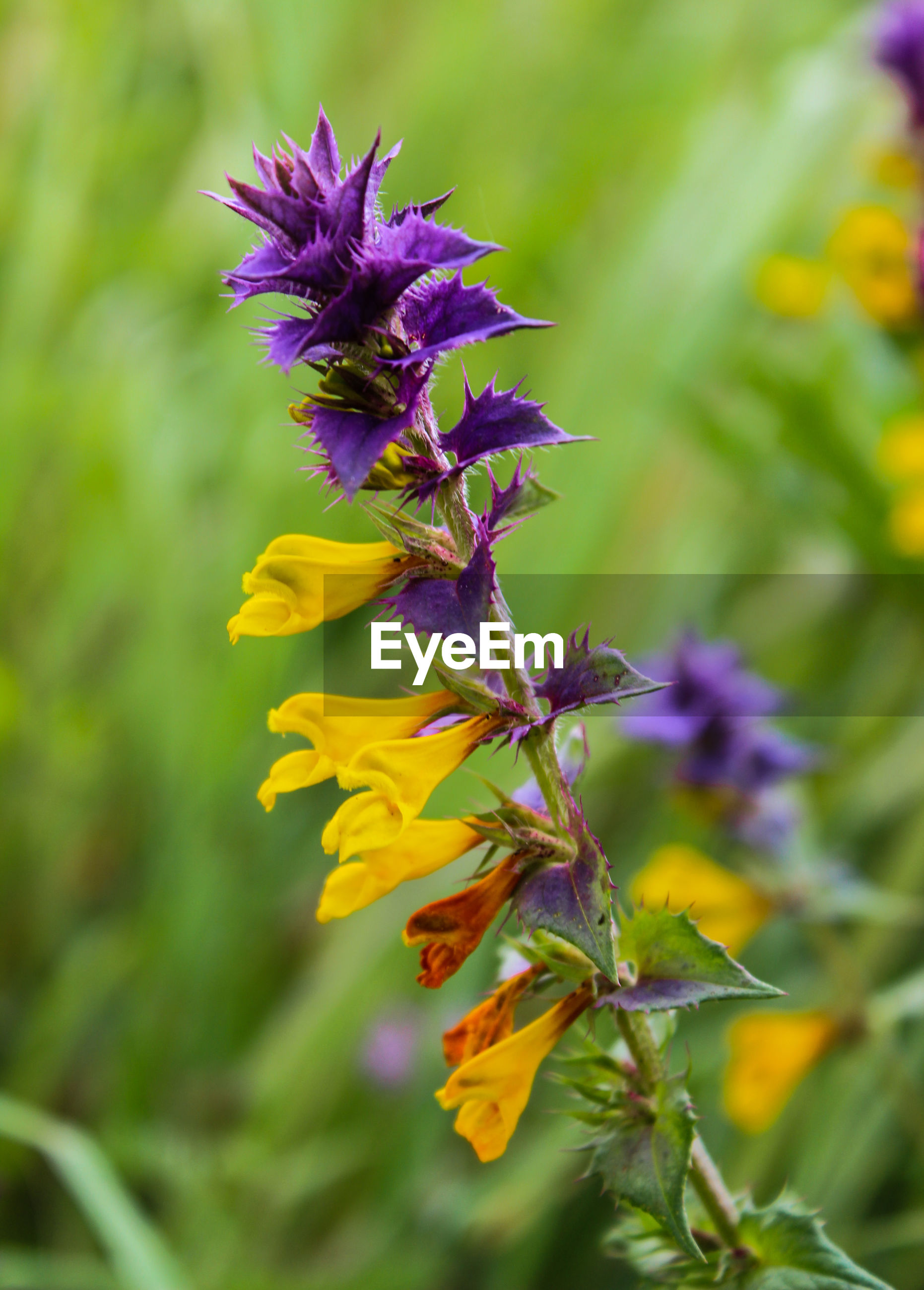 fragility, flower, freshness, growth, purple, yellow, beauty in nature, stem, close-up, petal, focus on foreground, nature, flower head, plant, botany, bud, vibrant color, in bloom, springtime, blossom, selective focus, day, outdoors, softness, no people, flowering plant, bloom, blooming, wildflower