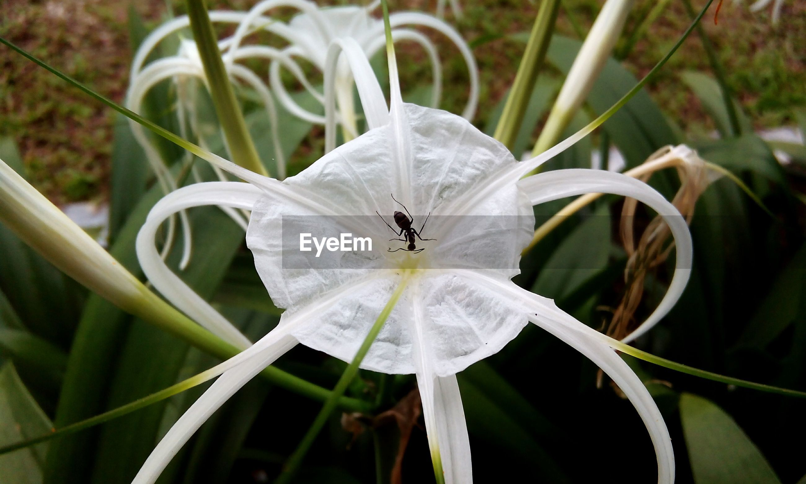 Close-up of ant on blooming spider lily outdoors