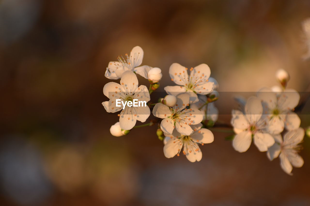flower, flowering plant, fragility, vulnerability, plant, beauty in nature, freshness, growth, close-up, petal, selective focus, flower head, focus on foreground, nature, inflorescence, tree, no people, blossom, white color, day, springtime, pollen, cherry blossom, cherry tree, bunch of flowers