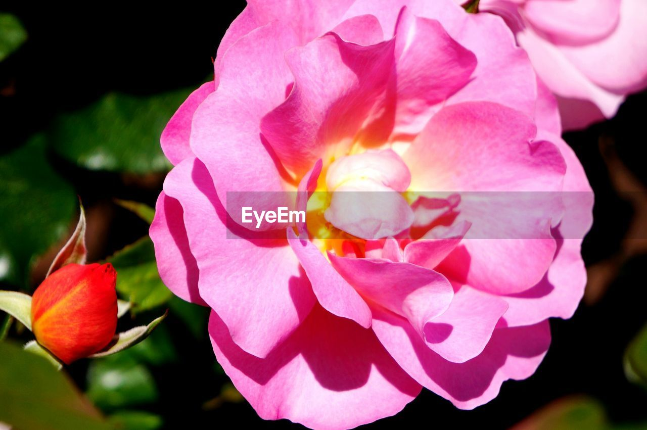 flower, petal, beauty in nature, nature, fragility, flower head, growth, pink color, freshness, plant, no people, blooming, close-up, outdoors, wild rose, day