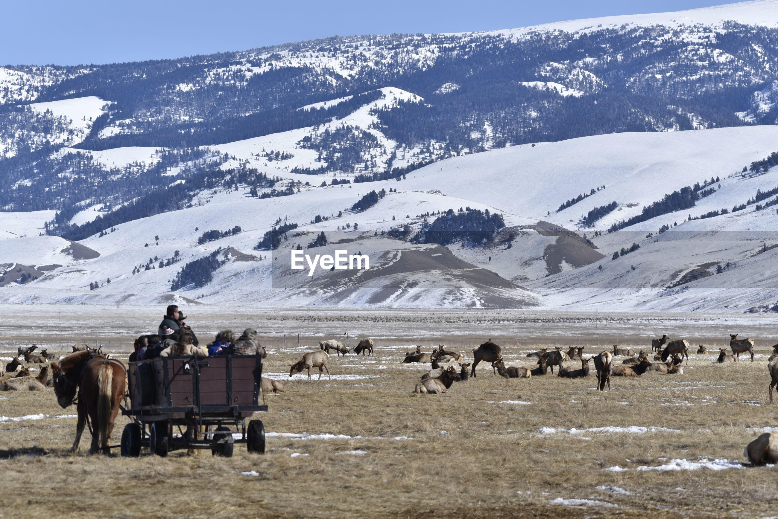 Tourists watching herds of elk at national elk refuge