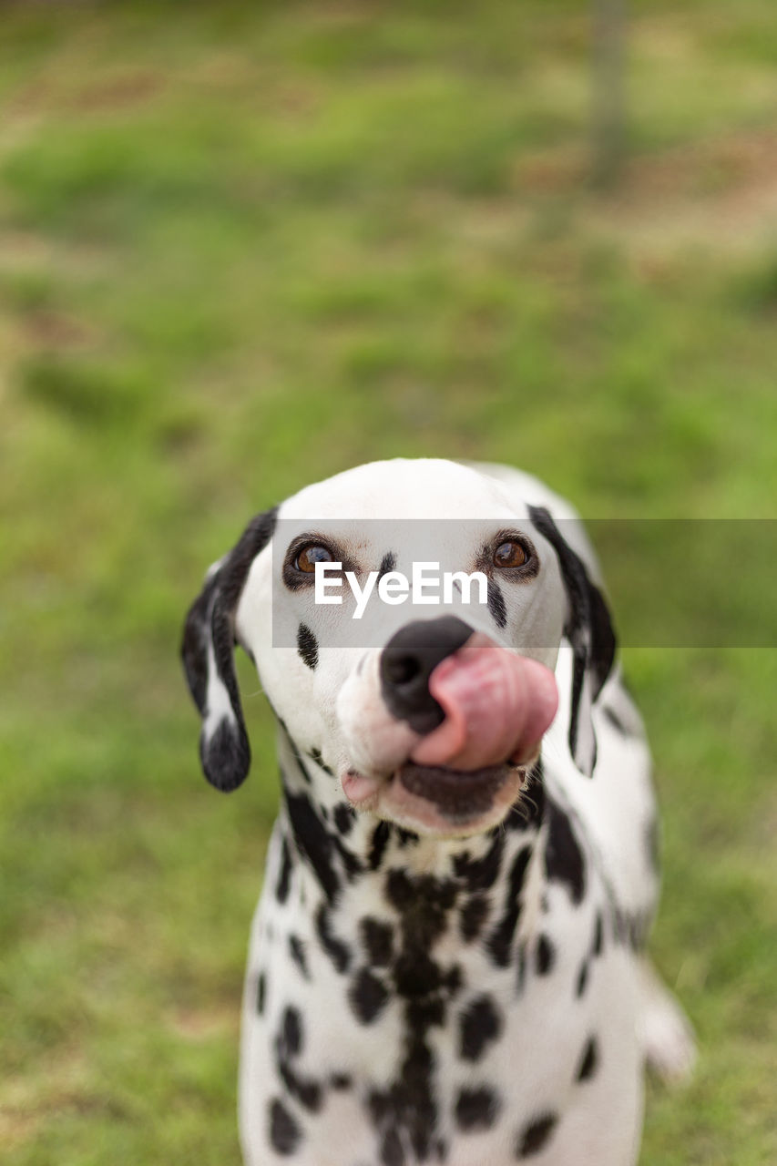 one animal, dog, animal themes, canine, domestic, mammal, animal, pets, domestic animals, dalmatian dog, focus on foreground, spotted, grass, vertebrate, no people, portrait, white color, plant, day, field, outdoors, animal tongue, mouth open, purebred dog, animal head