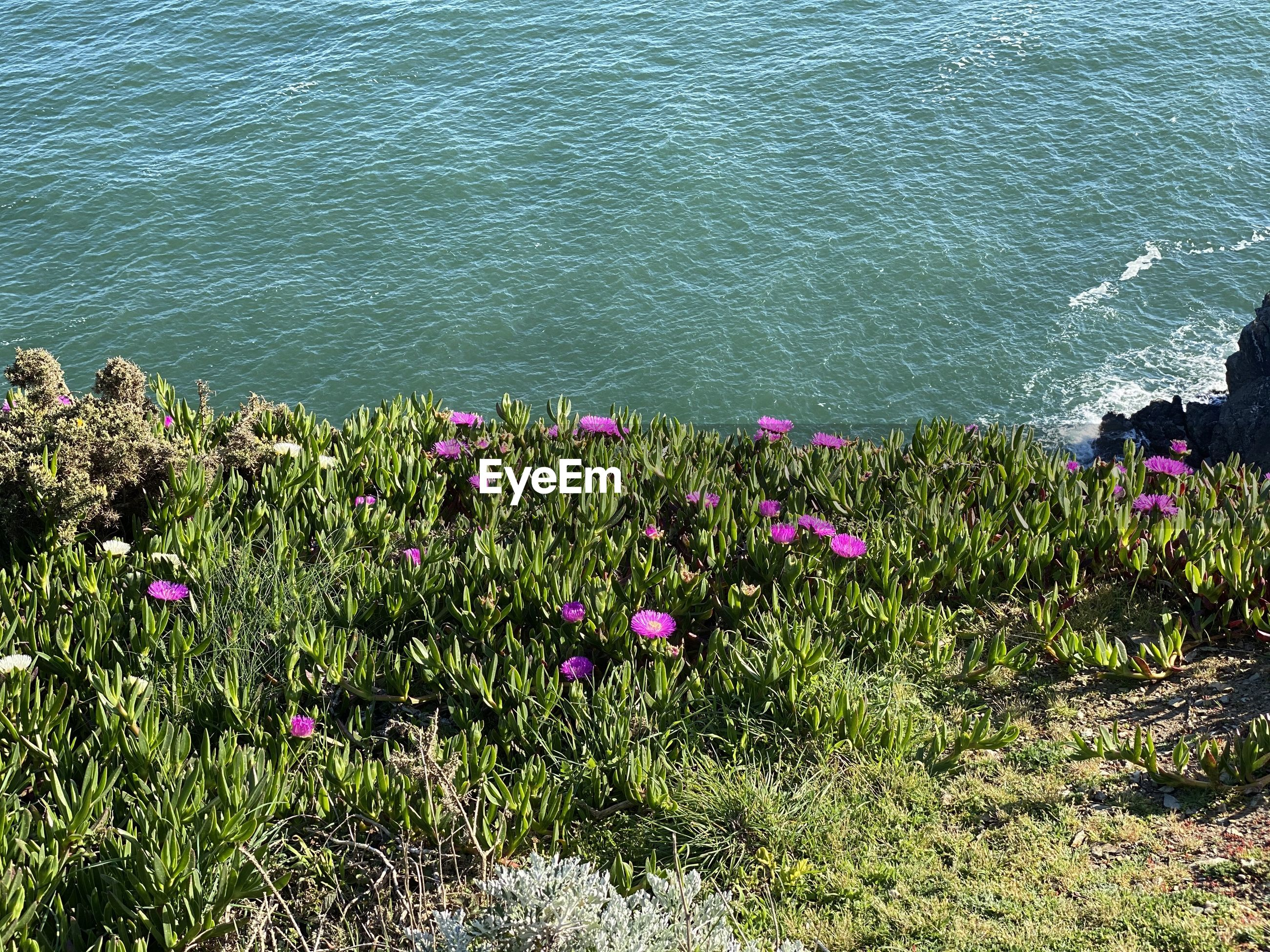 HIGH ANGLE VIEW OF PINK FLOWERING PLANTS IN SEA
