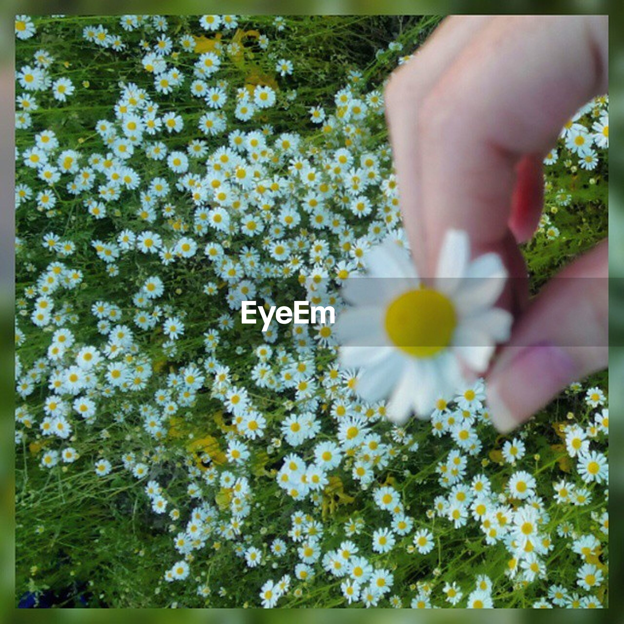 flower, person, freshness, holding, transfer print, fragility, lifestyles, part of, petal, leisure activity, high angle view, auto post production filter, growth, human finger, cropped, flower head
