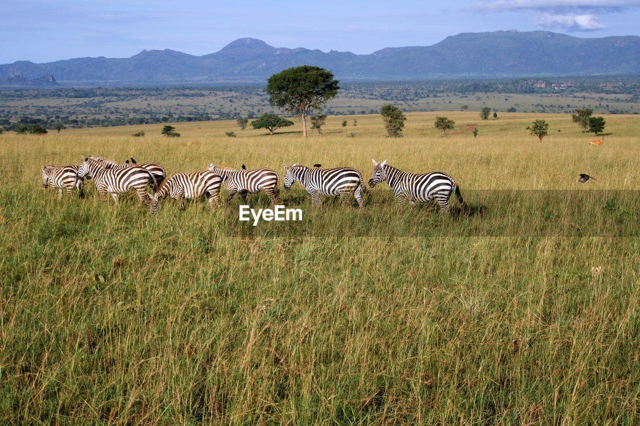 animal, animals in the wild, zebra, animal themes, group of animals, animal wildlife, grass, striped, field, plant, mammal, land, no people, landscape, environment, nature, vertebrate, safari, beauty in nature, outdoors, herd, herbivorous