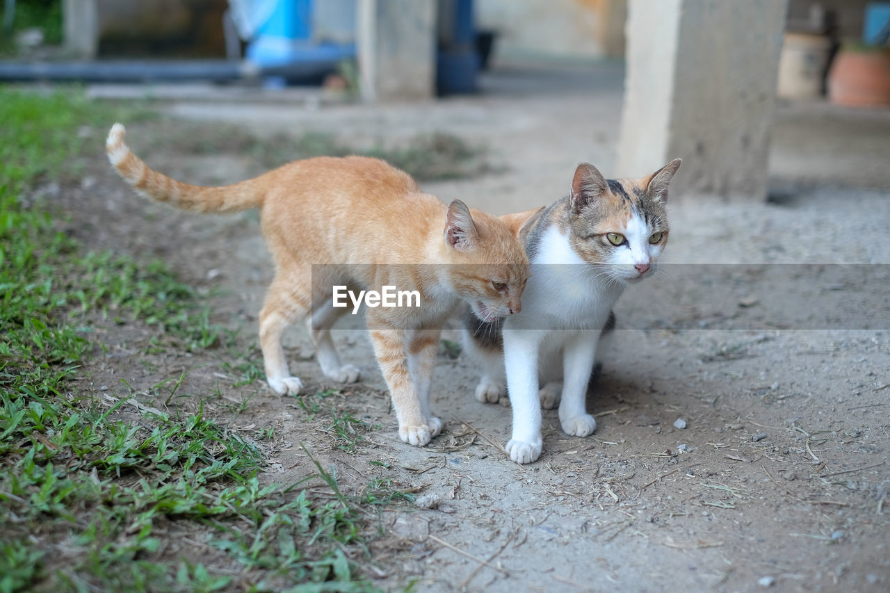 mammal, animal, animal themes, cat, pets, feline, domestic cat, domestic, domestic animals, vertebrate, one animal, day, no people, focus on foreground, whisker, standing, stray animal, footpath, ginger cat, mouth open