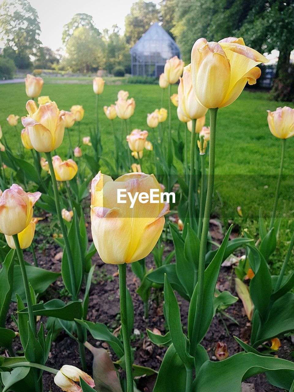 flowering plant, flower, plant, vulnerability, fragility, beauty in nature, petal, freshness, yellow, growth, close-up, flower head, inflorescence, nature, tulip, plant stem, plant part, field, leaf, no people, outdoors, springtime, spring
