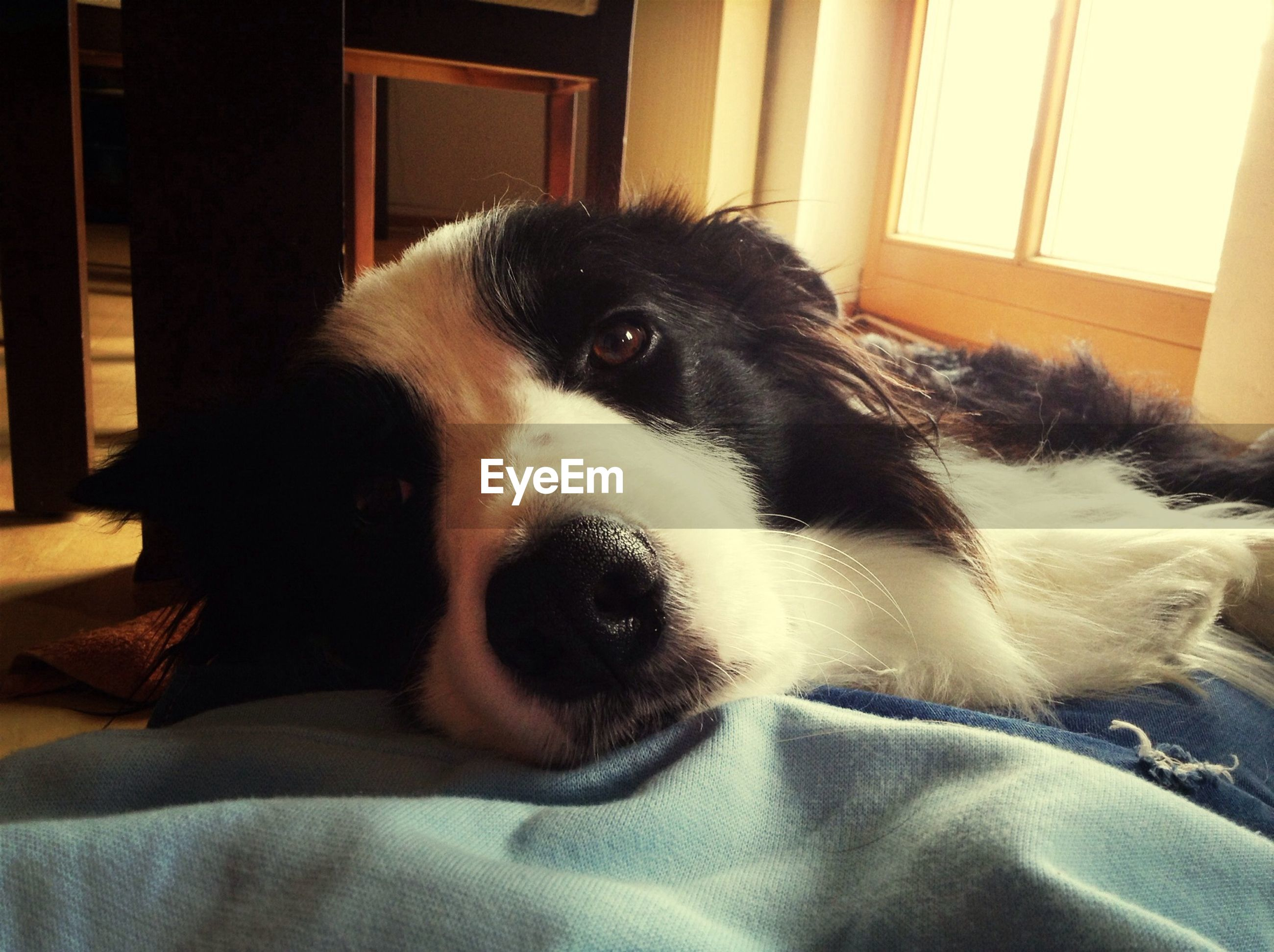 pets, domestic animals, dog, one animal, animal themes, indoors, mammal, home interior, bed, relaxation, portrait, looking at camera, close-up, animal head, resting, home, black color, sofa, lying down, window