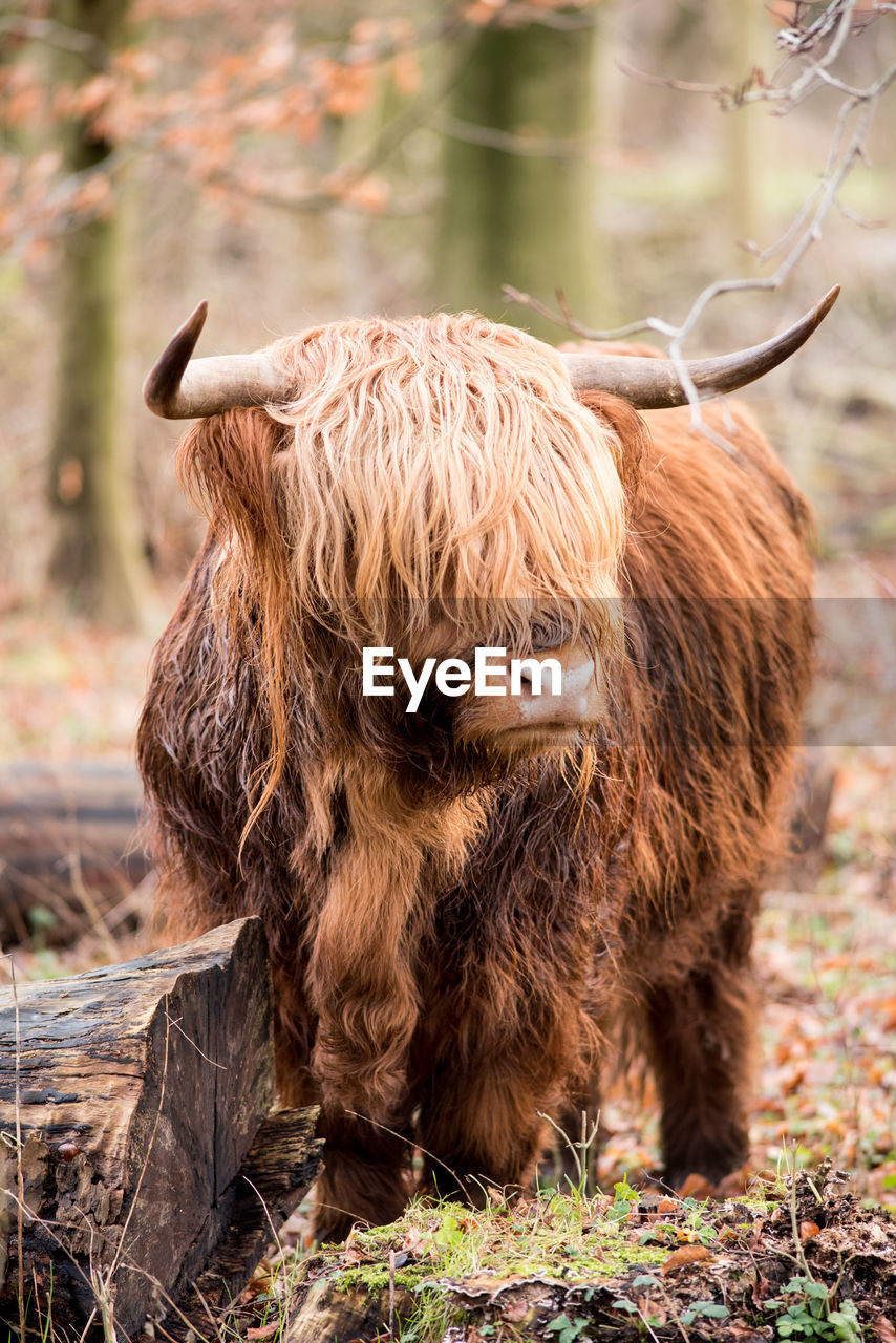 animal themes, mammal, animal, horned, highland cattle, domestic animals, domestic, vertebrate, animal hair, pets, livestock, land, one animal, field, brown, cattle, domestic cattle, animal wildlife, focus on foreground, day, no people, herbivorous, outdoors