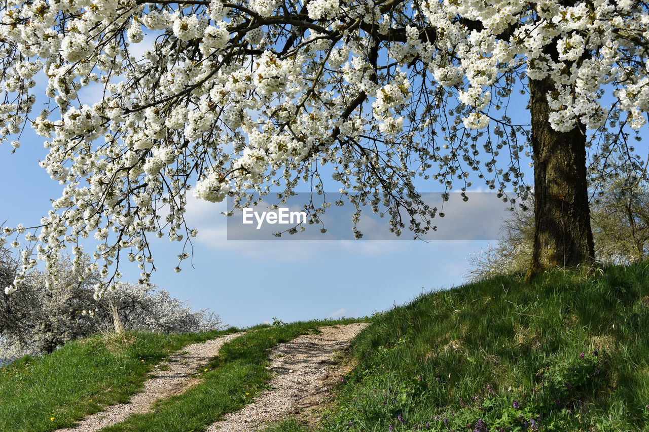 tree, beauty in nature, nature, growth, flower, branch, day, springtime, outdoors, tranquility, blossom, scenics, tranquil scene, no people, landscape, field, grass, fragility, freshness, sky