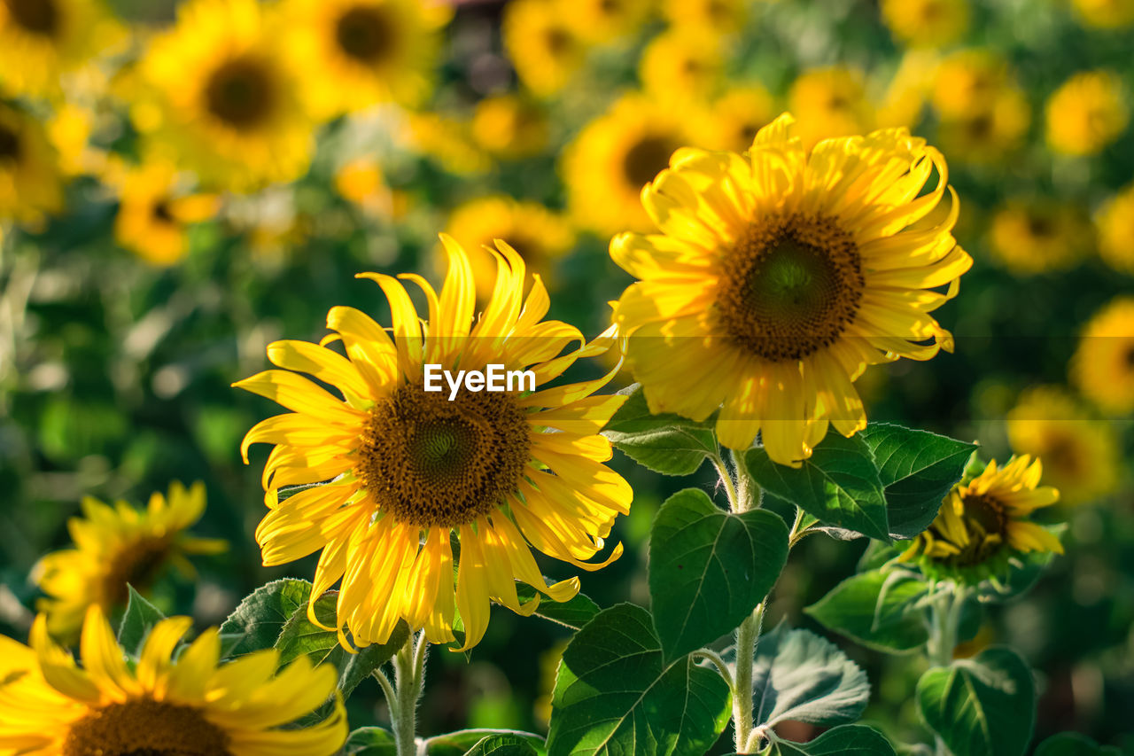 flower, flowering plant, yellow, flower head, fragility, plant, freshness, vulnerability, growth, inflorescence, petal, beauty in nature, close-up, focus on foreground, nature, sunflower, pollen, day, leaf, plant part, outdoors, no people, gazania