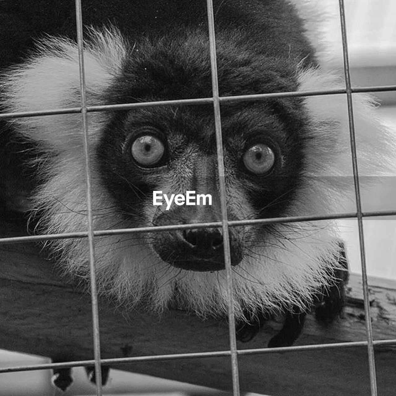 cage, one animal, looking at camera, trapped, mammal, animal themes, monkey, pets, prison, close-up, no people, indoors, portrait, ape, prisoner, domestic animals, security bar, confined space, day