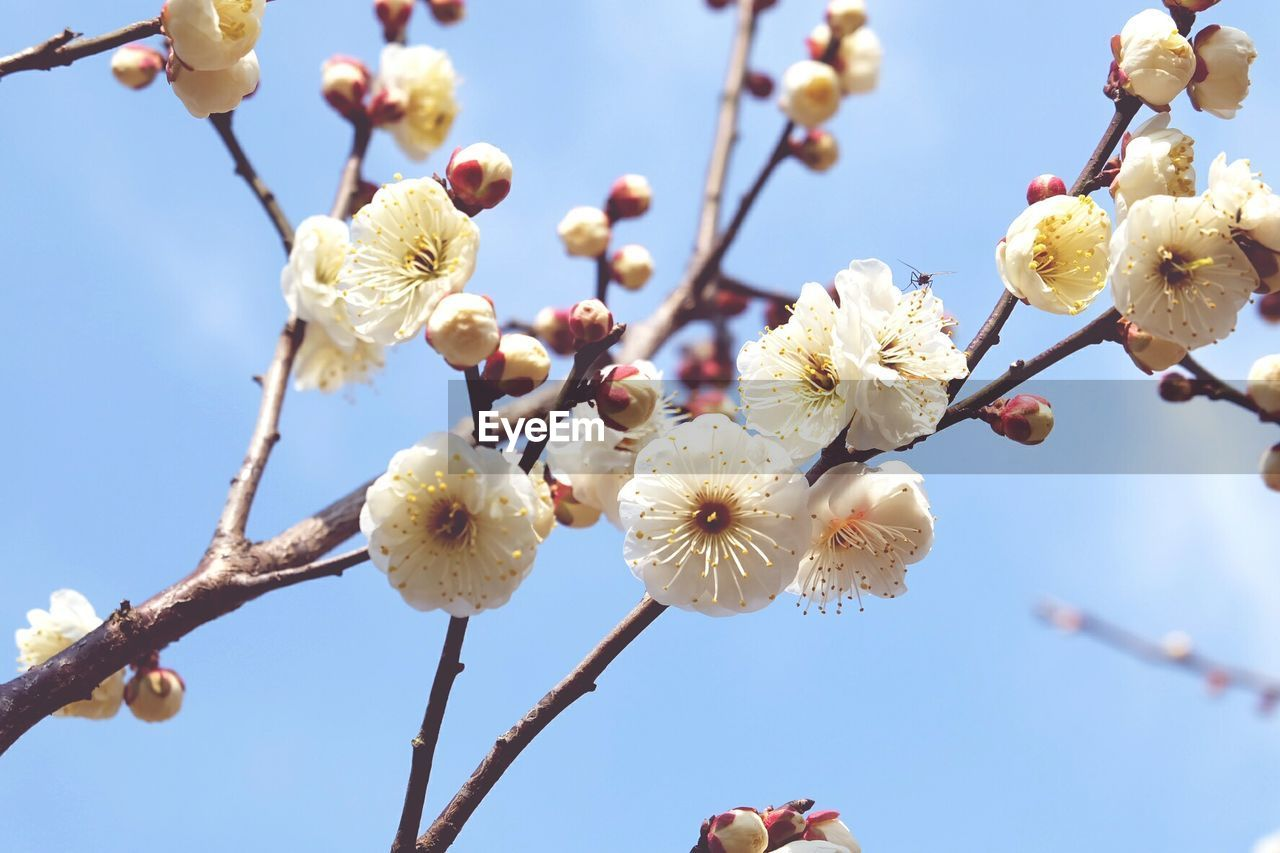 Low angle view of white plum blossoms growing on branch against sky