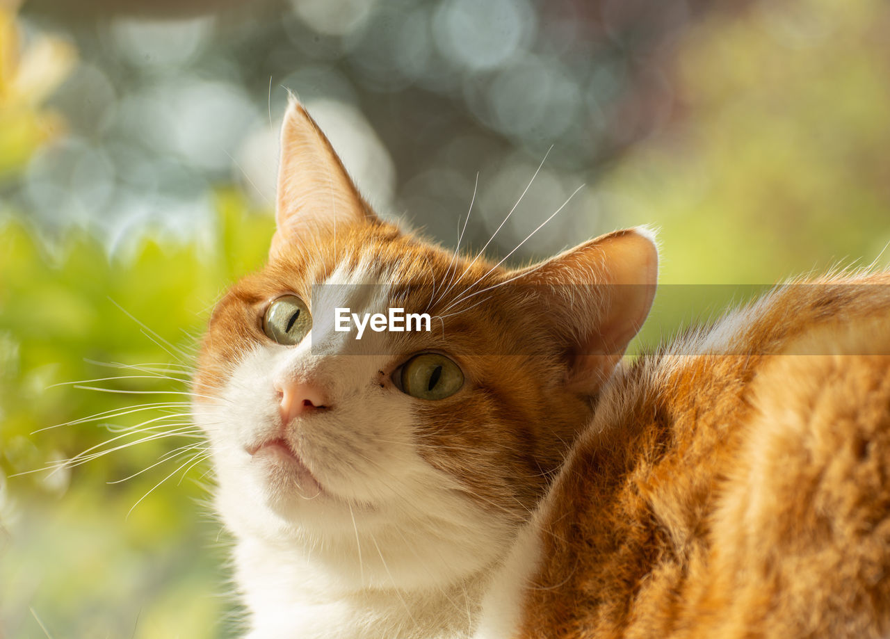 cat, domestic cat, domestic, pets, domestic animals, feline, animal themes, mammal, animal, one animal, vertebrate, whisker, focus on foreground, animal body part, no people, looking, close-up, day, looking away, ginger cat, animal head, animal eye