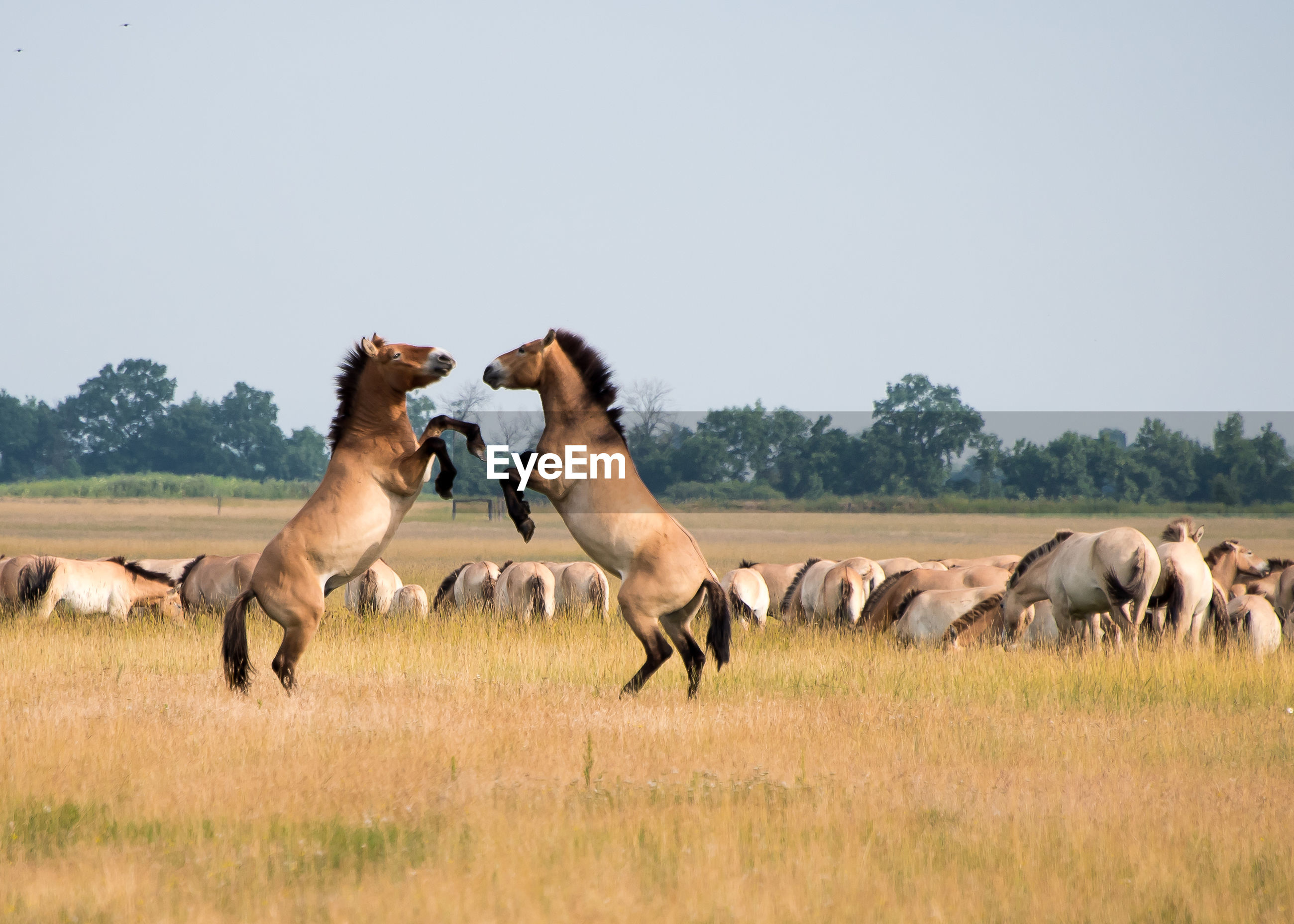 Horses fighting on grassy field