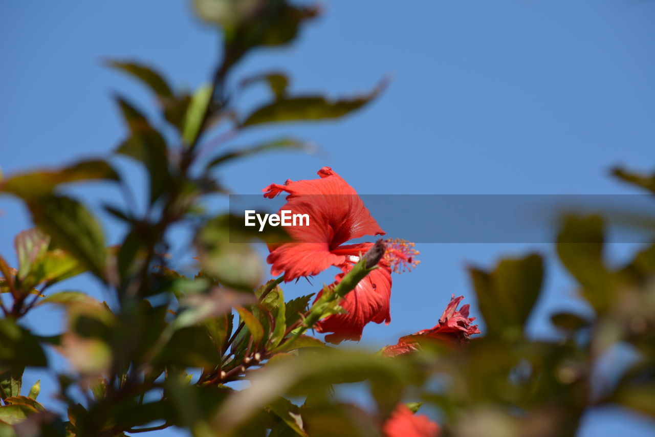 flowering plant, flower, plant, fragility, vulnerability, petal, beauty in nature, growth, freshness, flower head, close-up, inflorescence, hibiscus, red, nature, selective focus, no people, sky, pollen, focus on foreground