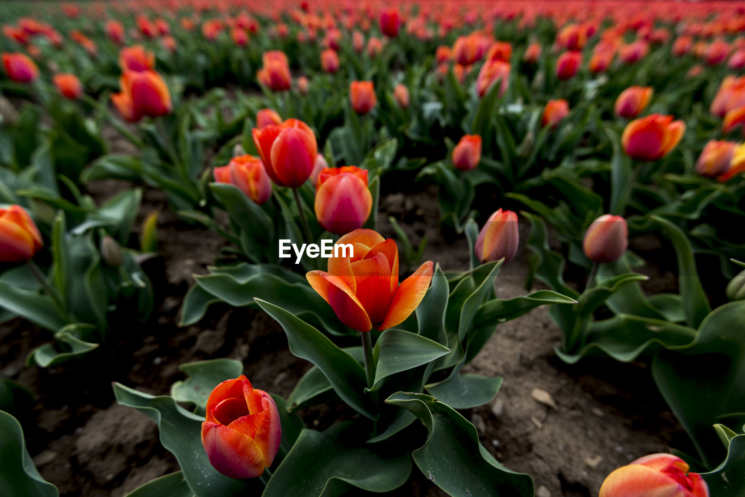 CLOSE-UP OF RED TULIPS IN GARDEN
