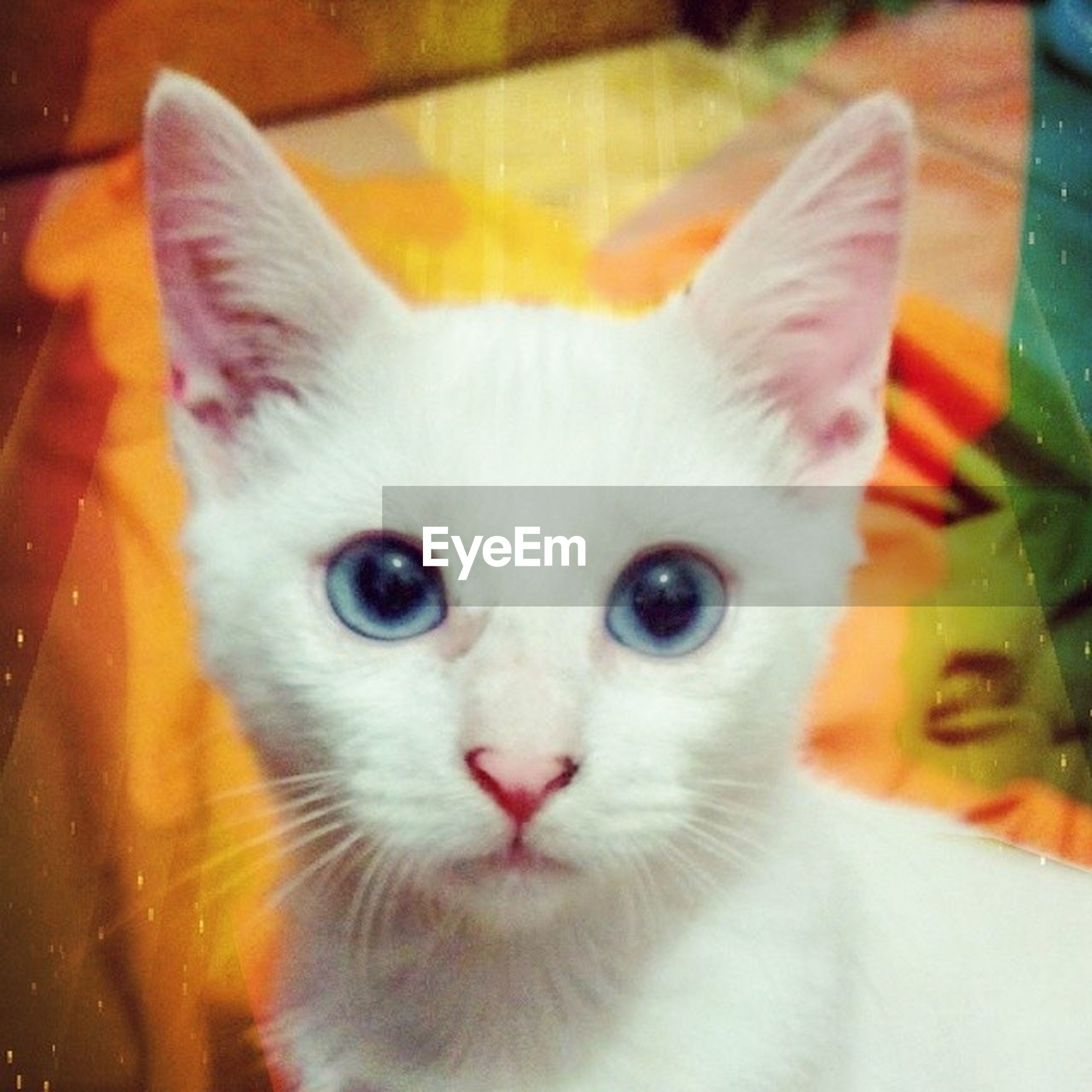 animal themes, domestic cat, pets, one animal, domestic animals, cat, portrait, mammal, whisker, looking at camera, indoors, close-up, feline, white color, animal head, focus on foreground, animal eye, young animal, no people, alertness