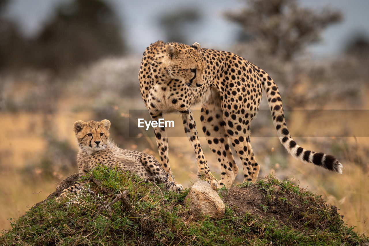 animal wildlife, animals in the wild, animal themes, animal, mammal, group of animals, feline, big cat, vertebrate, no people, cat, nature, focus on foreground, two animals, cheetah, day, plant, tree, looking