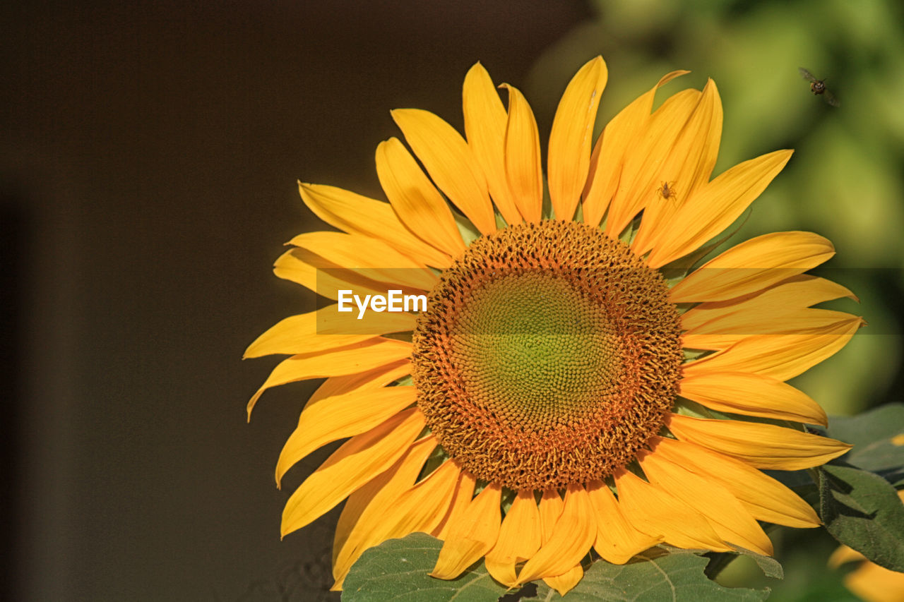 flower, flowering plant, flower head, petal, freshness, yellow, fragility, vulnerability, plant, inflorescence, beauty in nature, growth, close-up, pollen, sunflower, nature, no people, focus on foreground, botany, outdoors, pollination