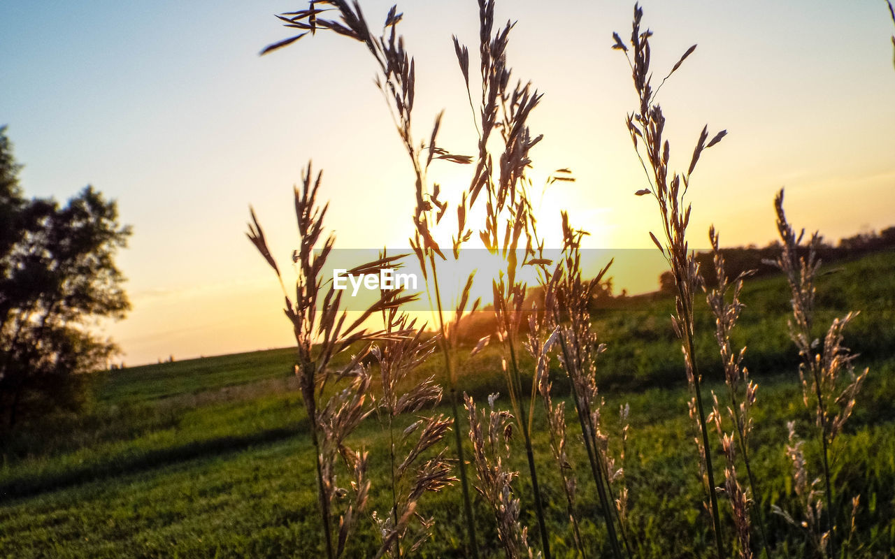 growth, field, sunset, nature, agriculture, rural scene, crop, farm, tranquil scene, tranquility, grass, beauty in nature, no people, outdoors, scenics, cereal plant, plant, landscape, sky, tree, sunlight, wheat, clear sky, day, close-up, freshness